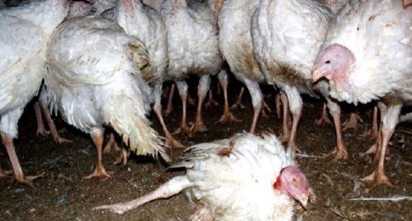 Многие фермеры не задумываются о потребности организма птицы и заводят на небольшом участке до сотни голов, не обеспечив необходимой площадью