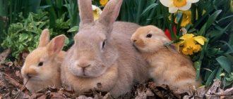 Когда можно подпускать крольчиху на случку?
