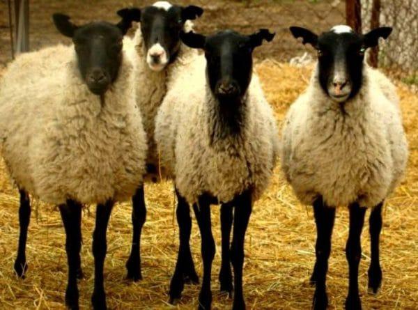 Разведение овец считается одним из наиболее выгодных занятий в животноводстве