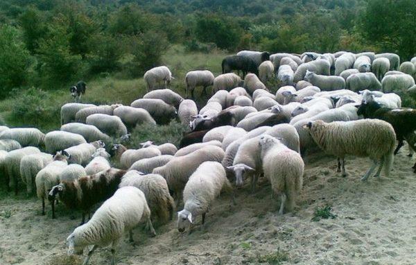 Овцы не требуют специализированных построек