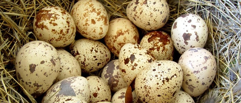 Яйца перепела почему перепела не несут яйца