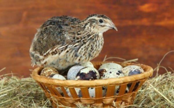 Несутся птицы днем или вечером, после кормления