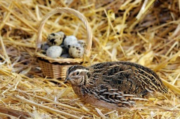 В тесных клетках птицы становятся агрессивными и раздражительными