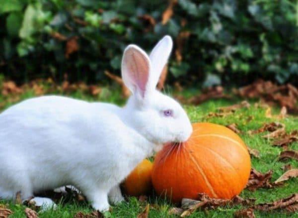 Тыкву так же дают кроликам, особенно часто тыкву совмещают в кормовой смеси с кабачками