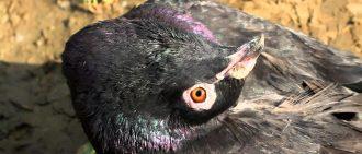 Чем питаются голуби в природе