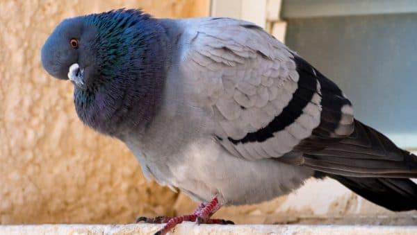 Сальмонеллез (паратиф) у голубей