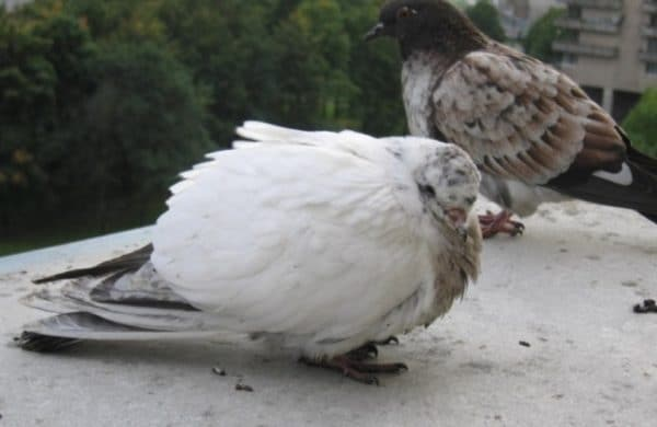 Туберкулез у голубей