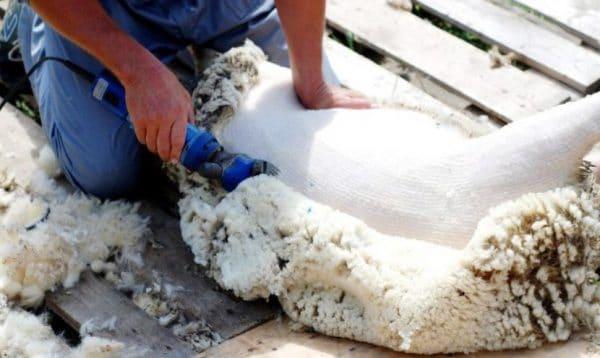 Стрижка овец является необходимым условием животноводства