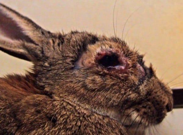 Вирусная геморрагическая болезнь кроликов (ВГБК) очень опасна, так кк приводит к смерти
