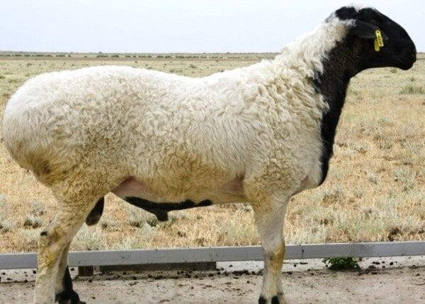 Гиссарский баран внешне почти ничем не отличается от овцы