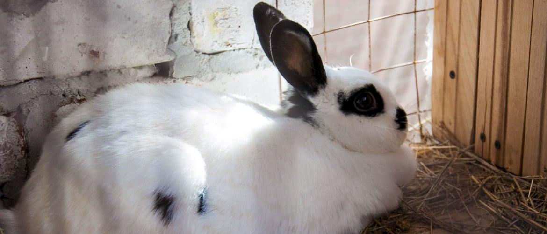 Что такое сукрольная крольчиха