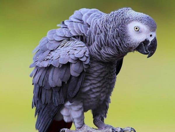Людям, готовым к постоянному обучению питомца звукоподражанию, рекомендуется выбрать попугая жако