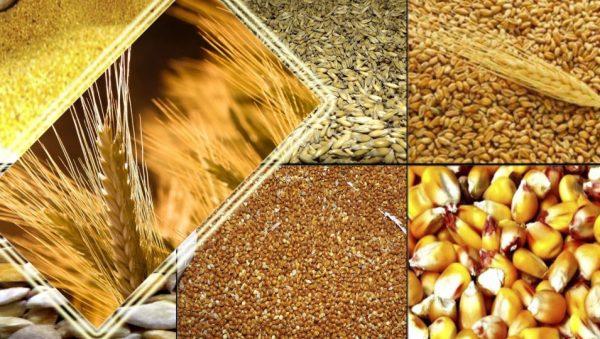 Кроликов можно кормить пшеницей, ячменем, овсом, кукурузой, главное - делать это правильно и с пользой для здоровья животного