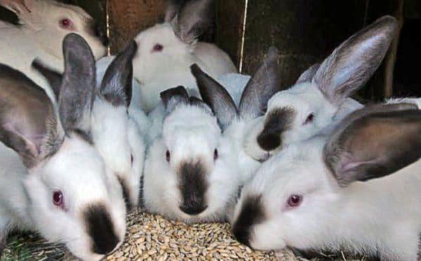Кроликам можно и нужно давать пшеницу