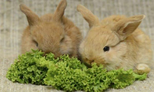 Кролики любят огородную зелень: мяту, сельдерей, петрушку, укроп, листья салата, базилик