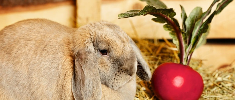 Морковь и кролики можно ли кроликам морковь