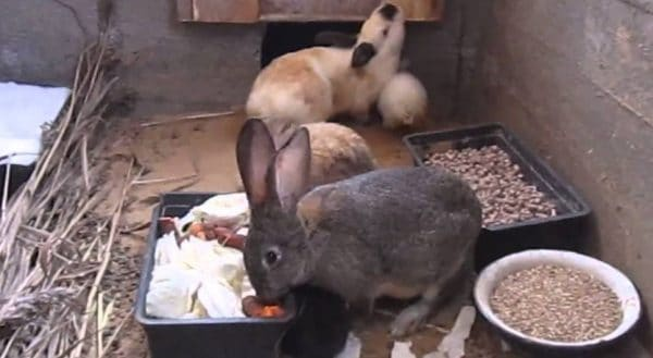 Разведение кроликов в яме позволяет сэкономить на клетках