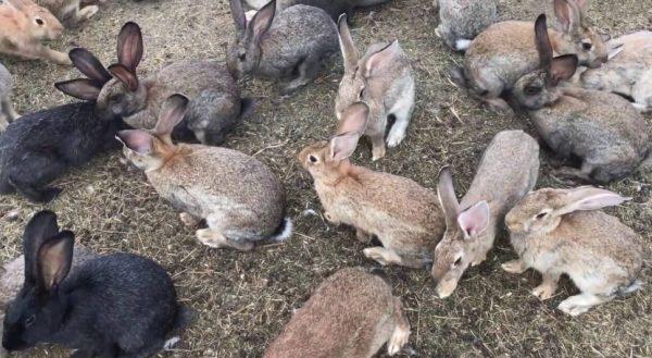 Содержание кроликов в ямах запрещено, если по климатическим условиям местность является непригодной для этого