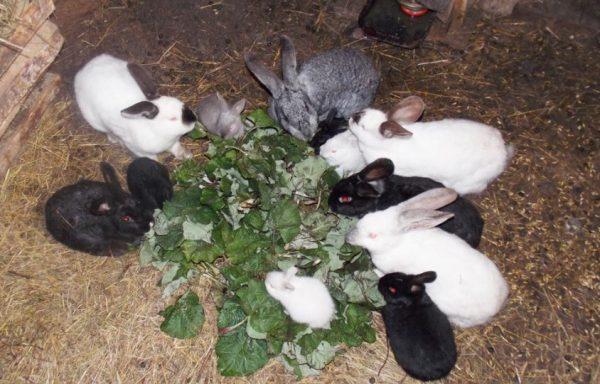 Кролик начнет рыть свои тоннели после того, как попадет в нору и поймет, что она ему необходима