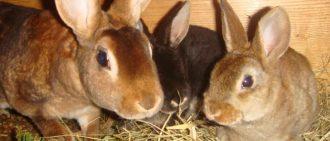 Почему у кроликов может вздуваться живот, причины и симптомы