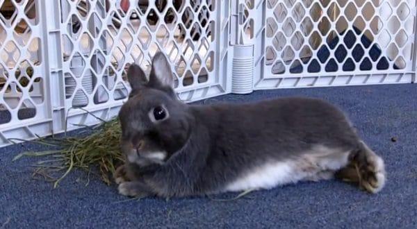 Декоративные кролики прекрасно подходят для квартирного содержания