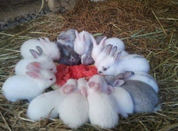 Для всех видов длинноухих запрещено давать арбуз, пока им не исполнилось 4 месяца