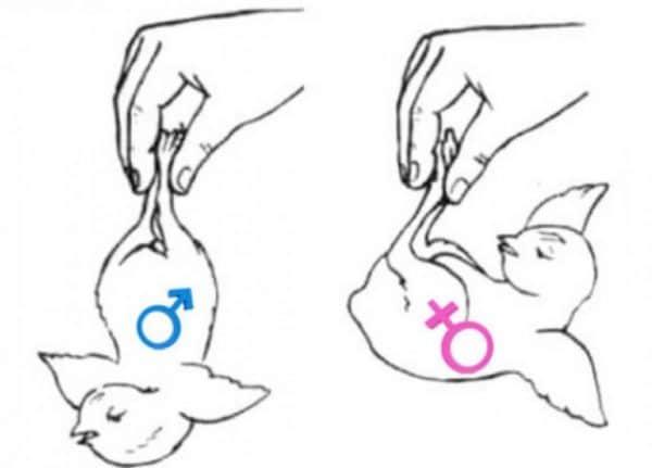 Как различить пол у цыплят в суточном возрасте