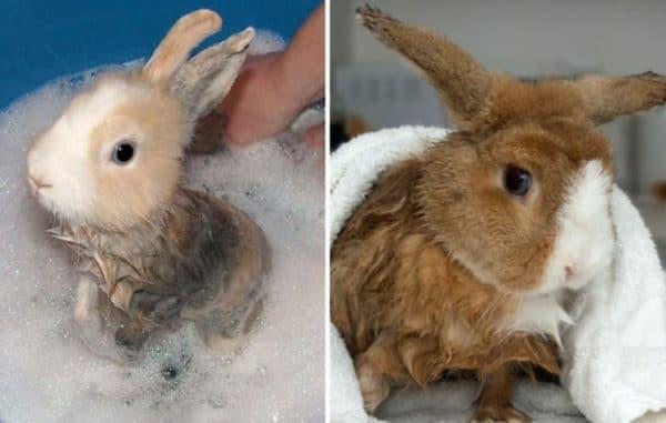 Существует несколько ситуаций, когда нужно знать, как можно в домашних условиях помыть кролика декоративной породы