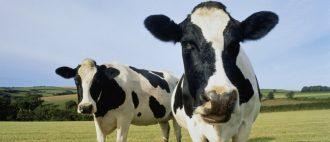 Айрширская корова: самая рогатая красавица . Характеристика породы.