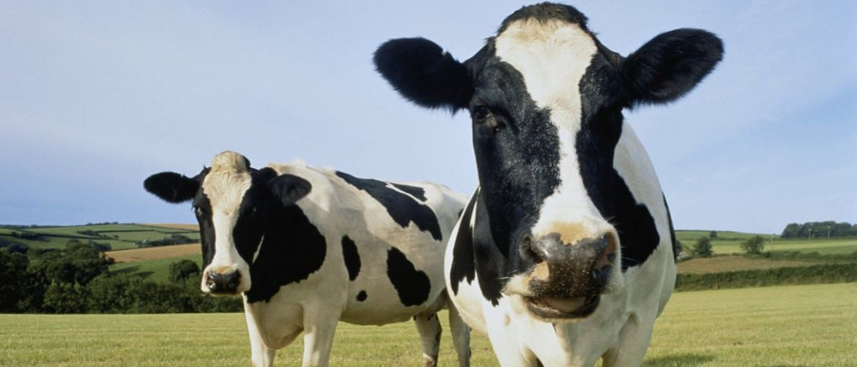 Гольштейн порода коров