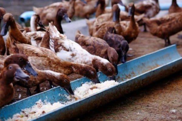 Количество корма определяется исходя из массы птицы