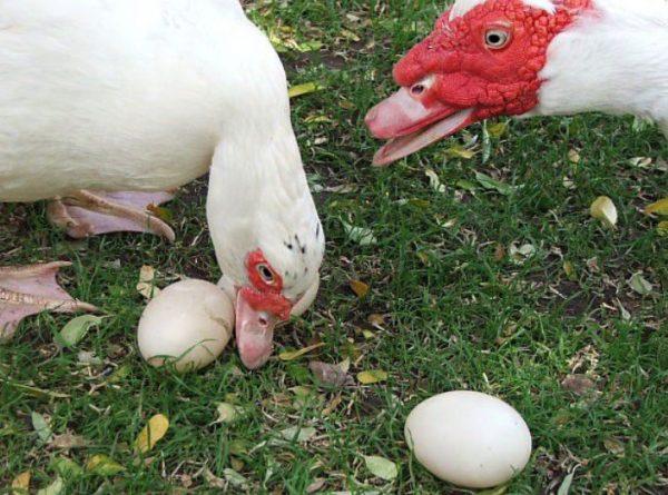 Яйца индоуток в 1,5-2 раза крупнее куриных