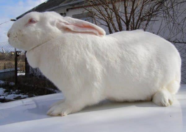 Густой мех защищает от холода — лучше всего к условиям зимы адаптированы представители пуховых пород