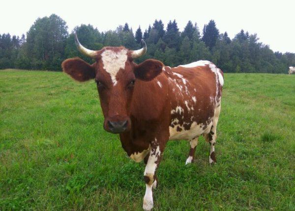 Айршир – универсальное животное