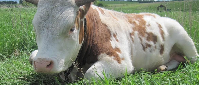 Телята мясной породы покупка содержание кормление