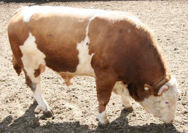 Средний годовалый бычок в день потребляет 9-10 кг корма