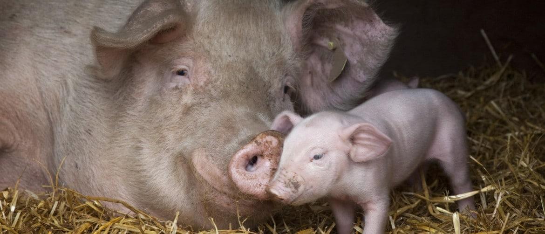 Беременность у свиней: как определить, срок, сколько вынашиваются поросята
