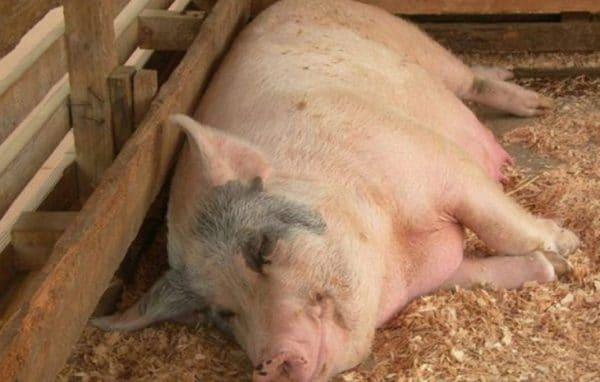 Понять, что свинья беременна, можно по внешним признакам и поведению