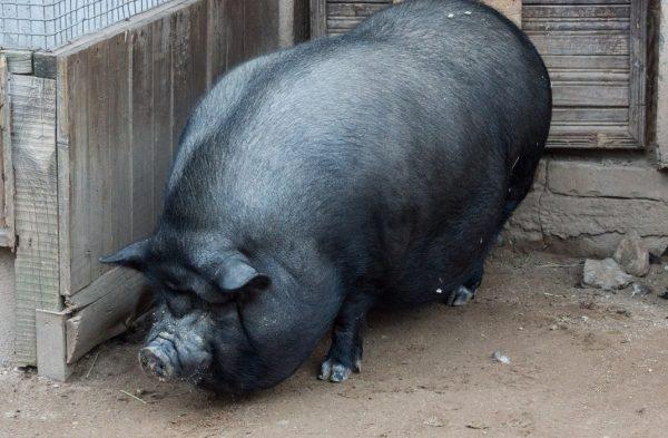 Вьетнамские свиньи являются популярной породой для домашнего выращивания и организации бизнеса