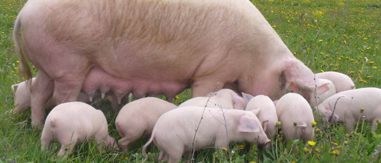 Серые свиньи