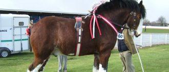 Как правильно содерржать лошадей бельгийской породы