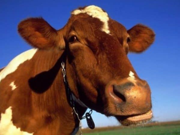 Мастит у коровы препятствует получению нормального молока