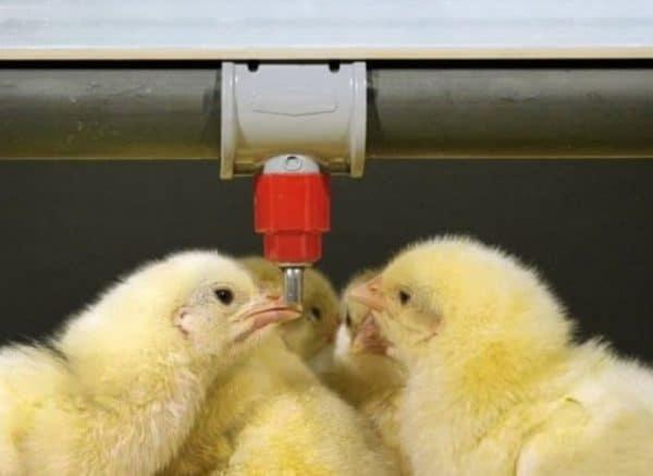 Изготовитель рекомендует проводить превентивную обработку цыплят-бройлеров и молодняка яичных кур в возрасте 11-15 суток
