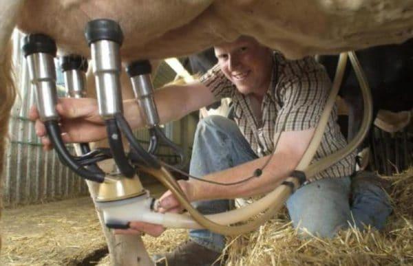Дойка коровы доильным аппаратом