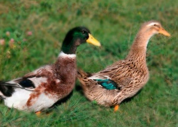 Утки – птицы водоплавающие, поэтому желательно иметь поблизости водоем, хотя бы искусственный