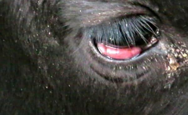 Лейкоз у коровы