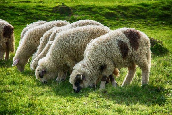 Всеядность овец объясняет повышенный интерес к выращиванию этих животных в домашних условиях