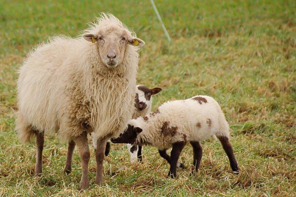 В летний период основой питания самки является трава