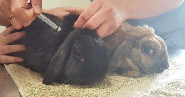 Как сделать прививку кроликам самостоятельно