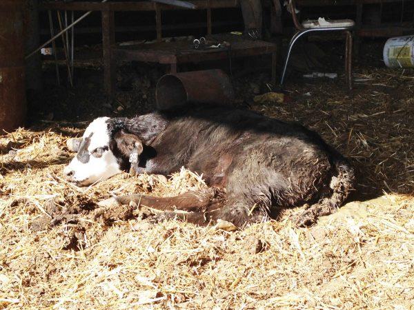 Чем опасен понос у теленка
